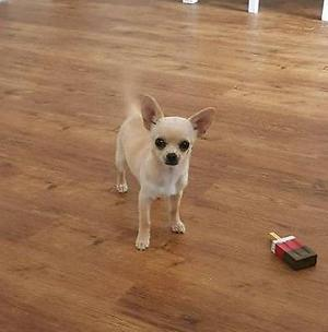 CHIHUAHUA FEMALE 16WKS OLD, MICROCHIPPED AND ALL INJECTIONS, CLACTON ON SEA