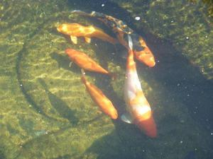 2 beautiful Koi Carp ( inches long), 4 goldfish (4-6 inches long) and 1 comet (4 inches long)