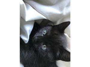 2 black kittens for sale in Witney