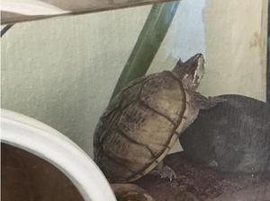 Musk Turtle w/ tank in Paignton