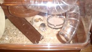 Roborovski dwarf hamster and cage.