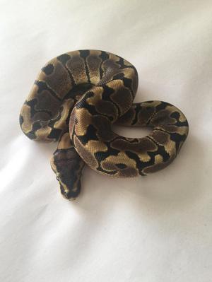 CB 18 Woma (poss YB) Femaleand male ball/royal pythons