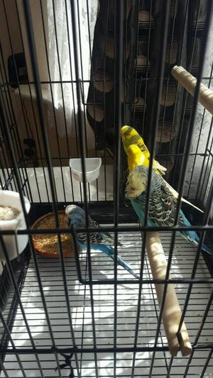 I want to sell a 2 pair of budgies with cage and nest box and food