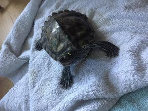 1 Mississippi map and 2 musk turtles need gone ASAP