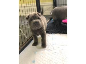 KC Reg Shar Pei Blue Boys and Girls in Southport