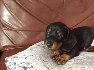 Mini Dachshund, Male Black and Tan puppy in Stowmarket