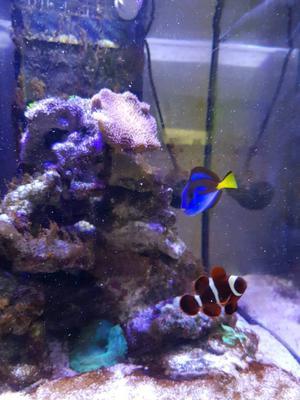 Regal tank & Clownfish for sale