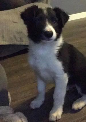 Male border collie pup for sale