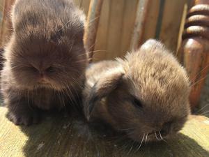 Beautiful mini lop bunnies for sale