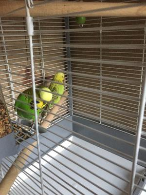 pets Exhibition budgie female and male and Cage for sale and I won a good home