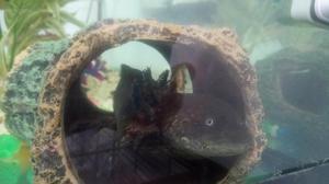 Axolotl for re-homing + Tank etc.