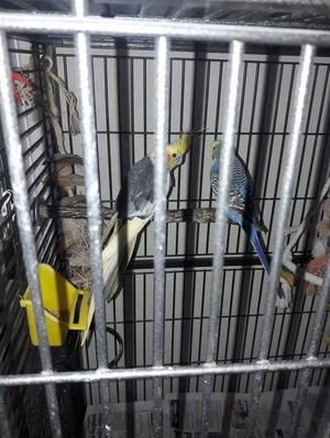 Male budgie looking for a new home!