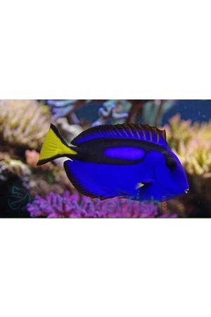 Marine fish Regal tang