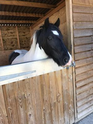 13 hh CHAPS reg 6 year old ride and drive gelding