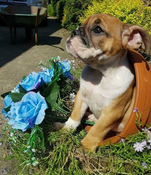 English bulldog puppy girl 800