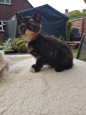 Little Tortie girl looking for her forever home