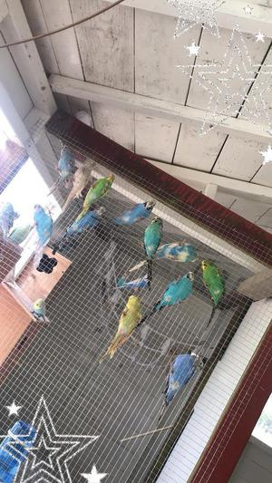 Lots of budgies for sale