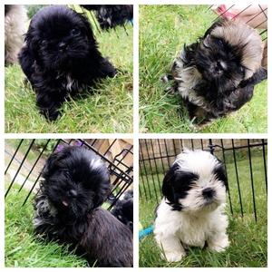 Shih Tzu puppies ready for their forever home