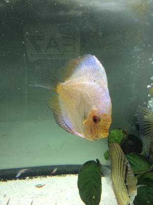 1 discus for sale