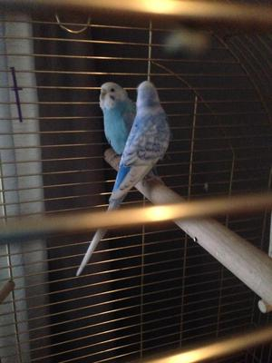 Lovely pair of budgies with cage
