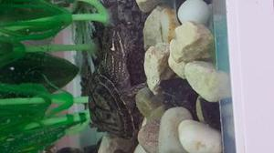 hatchling musk turtle with 3 ft tank and stand