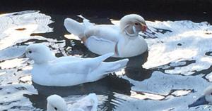 Platinum carolina ducks