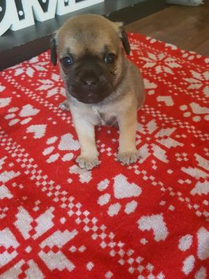 5 beautiful jug puppies for sale 4boys and 1girl xx