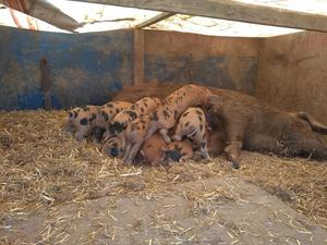 Oxford sandy and black weaners for sale
