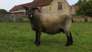 Pedigree coloured Ryeland breeding ewes