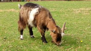 Friendly Fun Tri-Coloured Pygmy Goat Wether