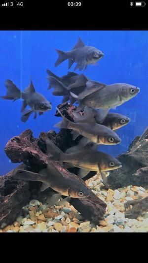 4 x black comet fish size 15cm, pond, aquarium cold water