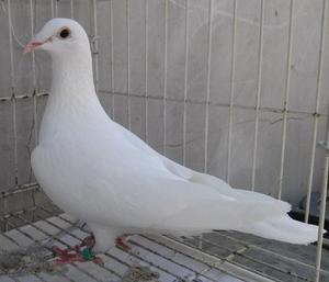 Racing pigeons jan aarden | Posot Class