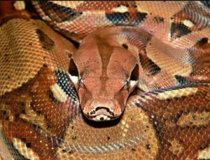 Free For a good home Boa constrictor