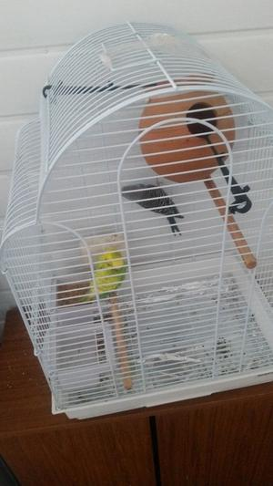 Pair of budgies for sale with cage and food