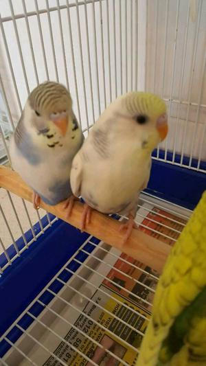 Baby Budgies £15 each or 2 for £25