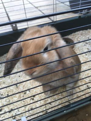 Female rabbit not spayed fawn coloured lovely girl named Bambi she knows her name