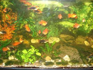 Platy & Guppy fish