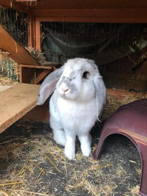 Young male rabbit and hutch with run