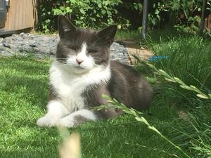 Beautiful grey and white female cat needs a new home