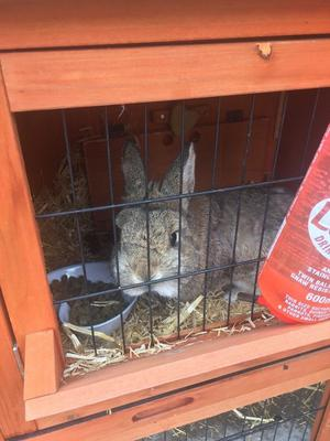 Netherland dwaf male rabbit with hutch less than a year old