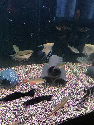 40 x tropical fish for fish tank all very nice and good look pic 3 x gourami 2 x angel fish more