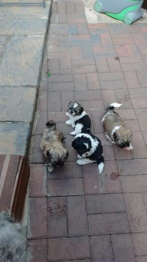 SHIH TZU puppies for sale ready to leave mother
