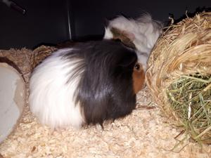 2 long haired Guinea pigs and cage for sale