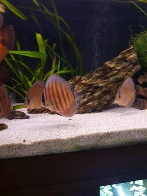 3x discus fish 25£ each