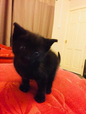 8 Week Old Kitten Needs a good home