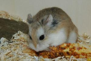 Looking for a home for a dwarf hamster (Robo)