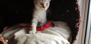 silver bengal kitten looking for a loving home