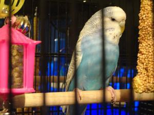 A LOVING NEW HOME IS NEEDED FOR A BEAUTFUAL CHEEKY BLUE GREY FEMALE BUDGIE