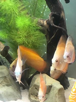 Discus for sale cheap