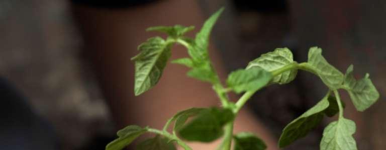 50p Potted Fruit/Vegetable Plants